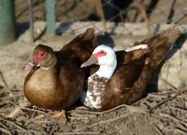 Moschusrasse Ente und Drake