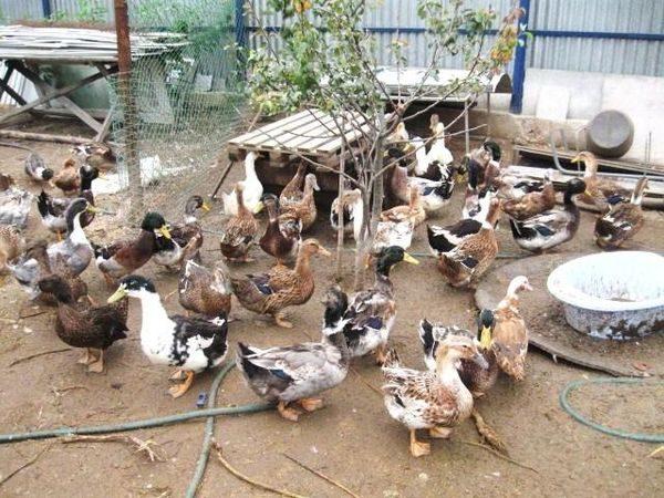 eine Herde Bashkir Ente