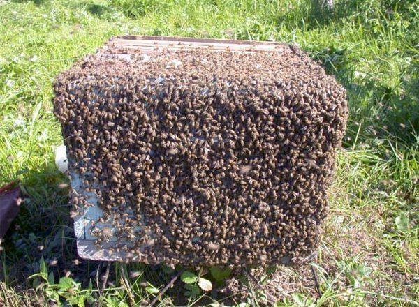 Schwarmende Bienen