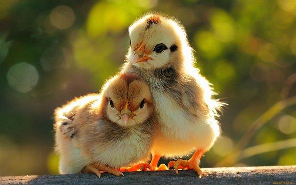 Hühner zu Hause anbauen