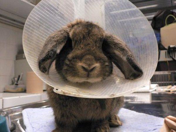 Kaninchen mit Erfrierungenohren