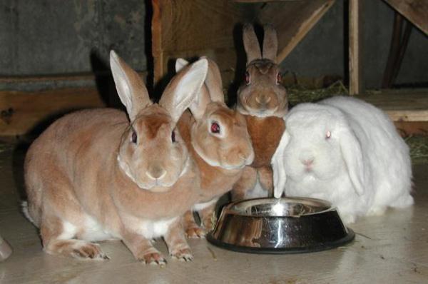 Kaninchen trinken Wasser aus dem Trinker