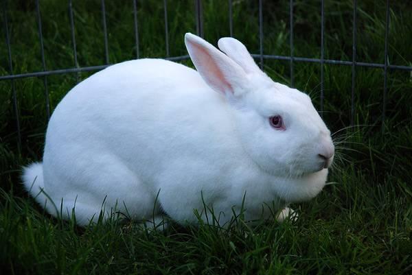 Weißes Kaninchen im Viereck