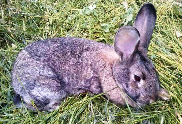 Kokzidiose bei Kaninchen