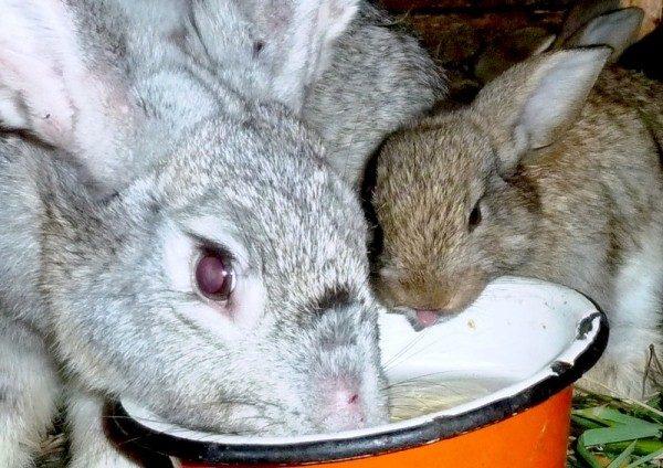Kaninchengetränke aus einer Schüssel