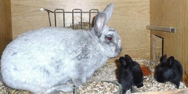 Schwarze Kaninchen mit einem Kaninchen