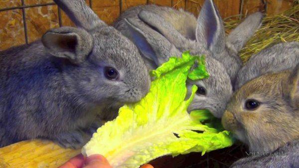 Kaninchen fressen Kohlblatt