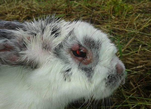 Kaninchen Liegt Im Sterben
