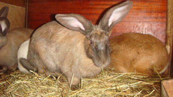 Schwangeres Kaninchen im Stift