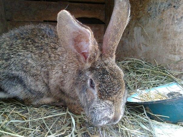 Myxomatose bei Kaninchen
