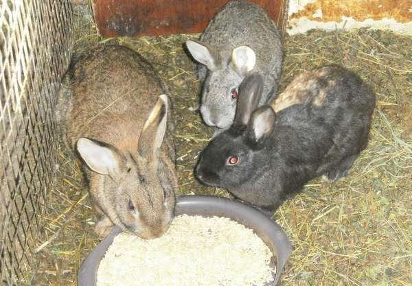 Kaninchen essen Getreide