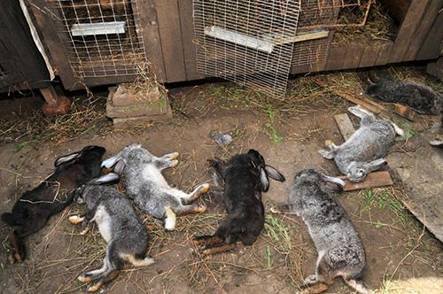 Patienten mit Kokzidiose-Kaninchen