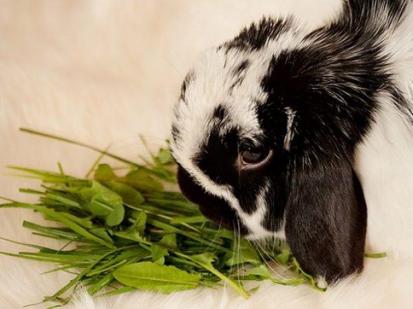Grünes Kaninchen
