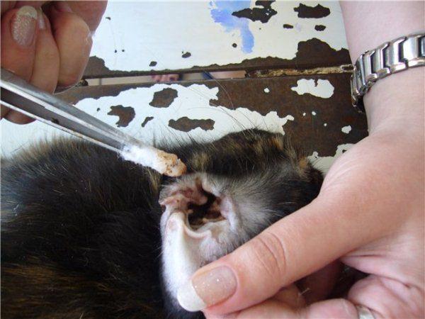 Kaninchenohrbehandlung