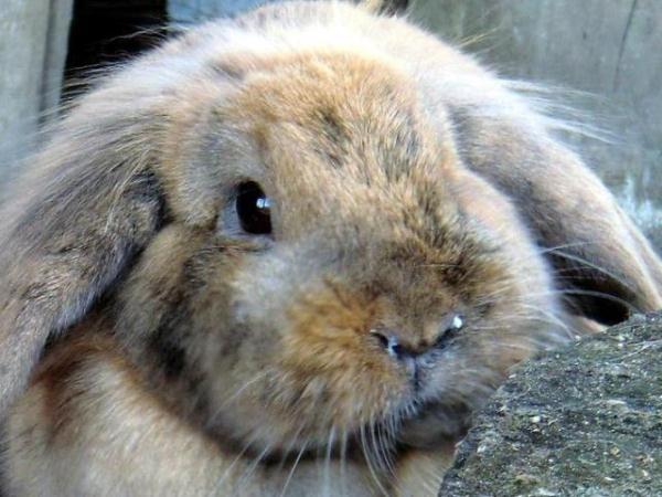 Erkrankungen der Ohren bei Kaninchen