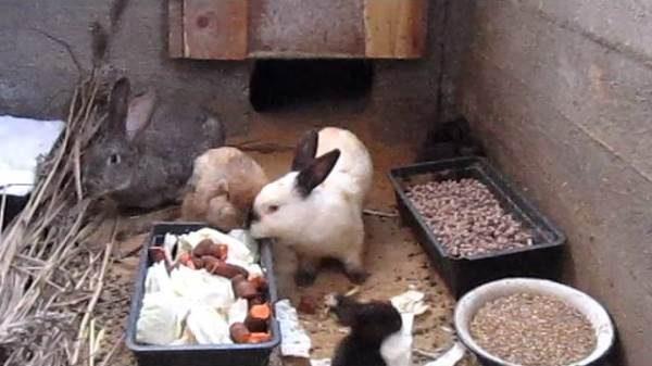 Kaninchen essen in der Grube