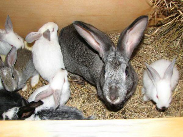 Das Anfangsstadium der Kokzidiose bei Kaninchen