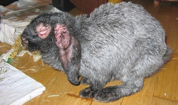 Myxomatose - eine gefährliche Krankheit für Kaninchen