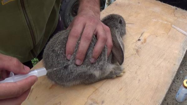 Kaninchen sollten alle sechs Monate geimpft werden