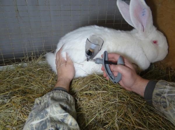 Die Impfung des Kaninchens ist einfach.