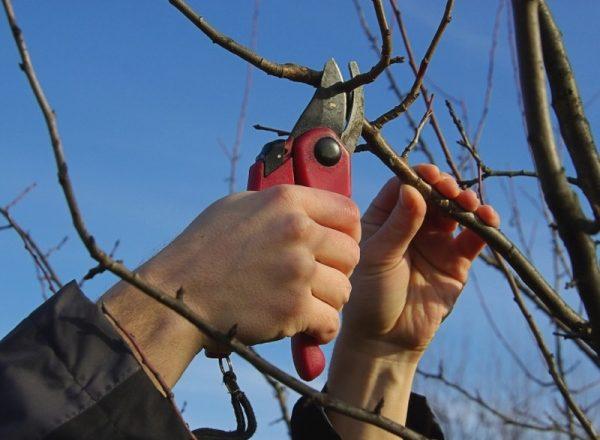 Schema und Eigenschaften des Beschneidens eines Birnbaums im Frühling, Herbst, Winter und Sommer