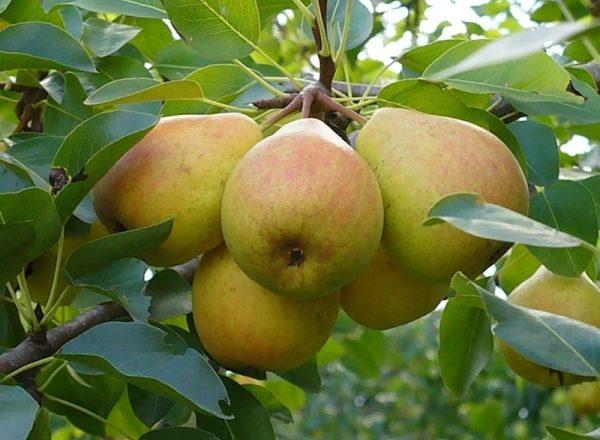 Sorte Birnen Favorit Klappa: Beschreibung der Sorte, Bewertungen der Gärtner