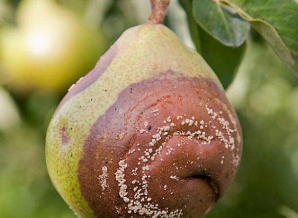 Warum Birnen an einem Baum verrotten: Die Ursache herausfinden und beseitigen