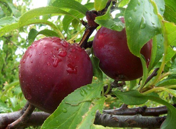 Vielzahl von Plum Candy: Beschreibung und Spezifikationen, Pflanzung und Pflege