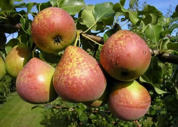 Beschreibung und Eigenschaften der Birnenvielfalt, Vor- und Nachteile