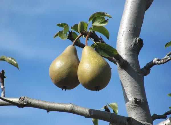 Warum die Birne nicht blüht und keine Früchte trägt: Die Hauptgründe für die zu ergreifenden Maßnahmen