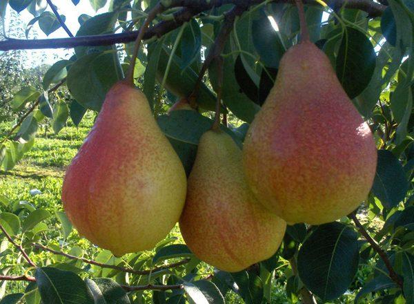 Birnenfrucht