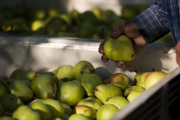 Wenn Birnen aus einem Baum entfernt werden: Reifungszeit, Lagerungsbedingungen des Ernteguts