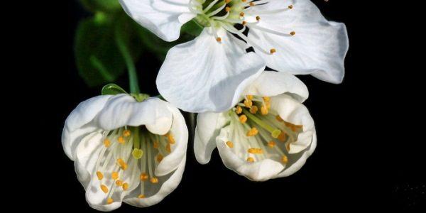 Schokoladenblütenstand besteht aus 3 Blüten