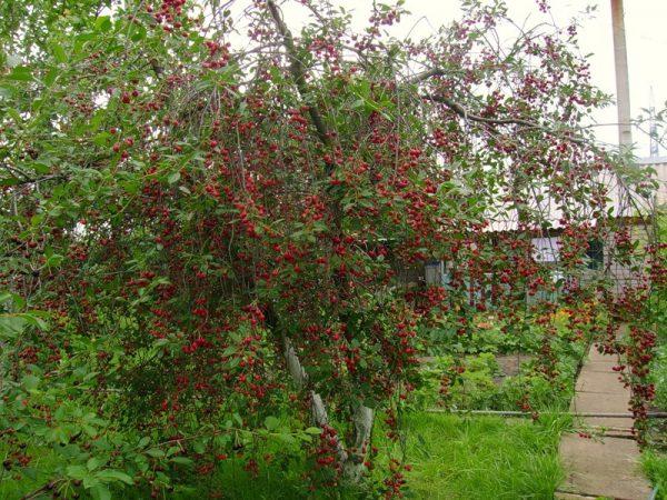 Lyubskaya-Kirsche, bereit, reife Frucht zu ernten