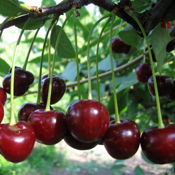 Die Vorteile der Kirschsorten Vladimirskaya umfassen hohe Erträge und Vielseitigkeit der Beeren sowie eine gute Winterhärte.