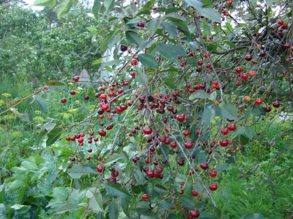 Die Besonderheit der Vladimirskaya-Kirschsorte: die Universalität der Beere sowie die hohe Anfälligkeit für Pilzkrankheiten und Schädlinge