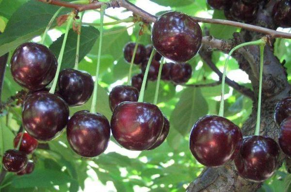 Kirschfrüchte Vladimirskaya
