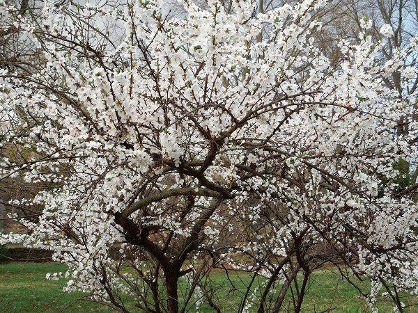 Fühlte mich Kirschblüte