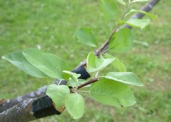 Wie man eine Birne pflanzt