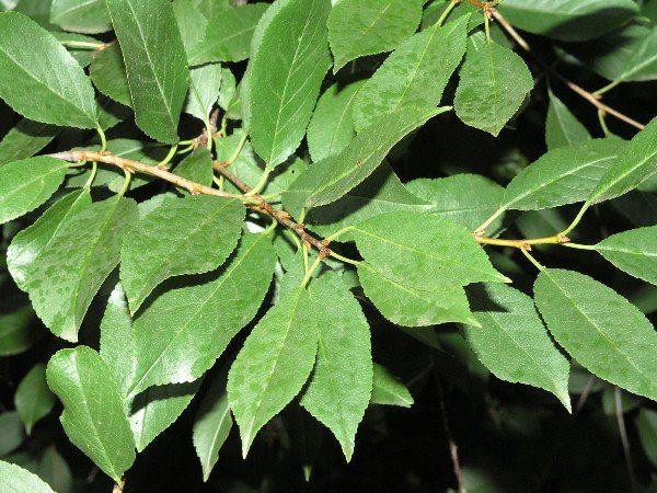 Die Blätter der Kirsche enthalten viele Nährstoffe wie in den Beeren
