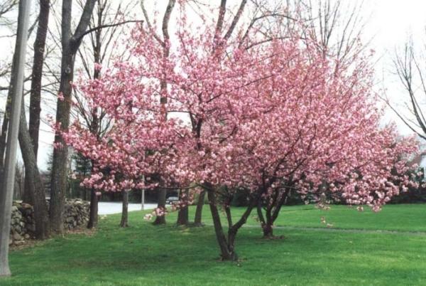 Sakura Kansan ist photophil und blüht mit massiven duftenden rosa Blüten