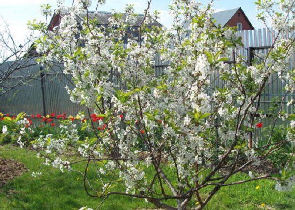 Kirschblüte Lyubskaya