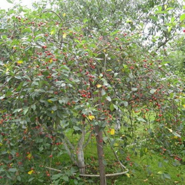 Kirsche Anthrazit