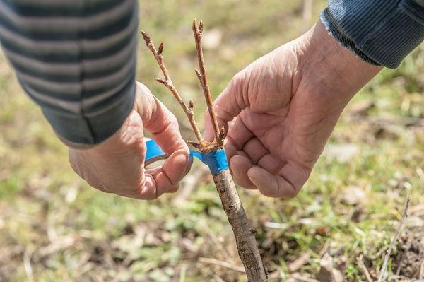 Methoden und Besonderheiten der Pflaumenzucht: Samen, Grünschnitt, Wurzelsprossen und Pfropfung