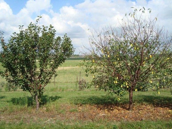Kirschblätter fallen im Juli