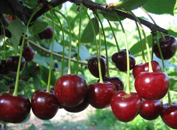 Cherry Youth Vielfalt