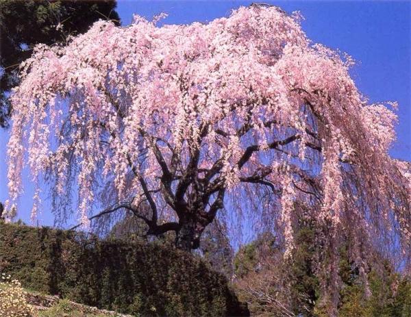 Kirschsakura gehört zu Zierpflanzen, ihre Früchte sind nicht zum Verzehr geeignet.
