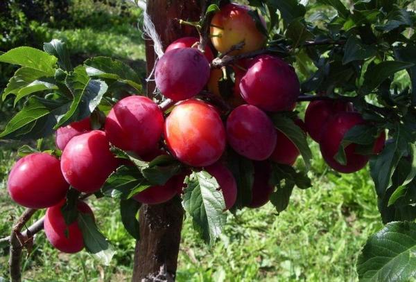 Ural Red Sorte Pflaume: Baumbeschreibung, Anpflanzen und Pflege, Bekämpfung von Krankheiten und Schädlingen