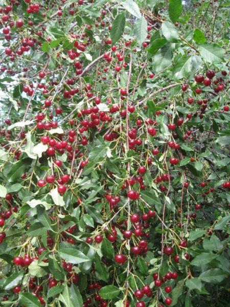 Kirschbusch Ural Ruby