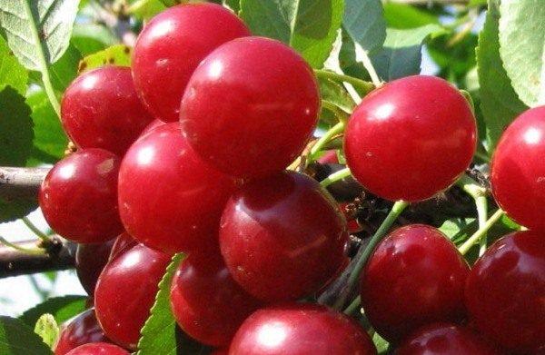 Cherry Variety Treffen